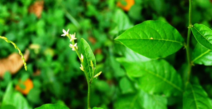 Guinea henweed (scientific name Petiveria alliacea L., botanical family Phytolaccaceae) is considered an important Jamaican 'bus